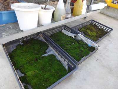 温室通信 正月用盆栽制作の様子_d0338682_15440499.jpg
