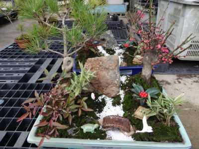 温室通信 正月用盆栽制作の様子_d0338682_15470368.jpg