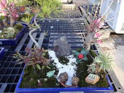 温室通信 正月用盆栽制作の様子_d0338682_15474615.jpg