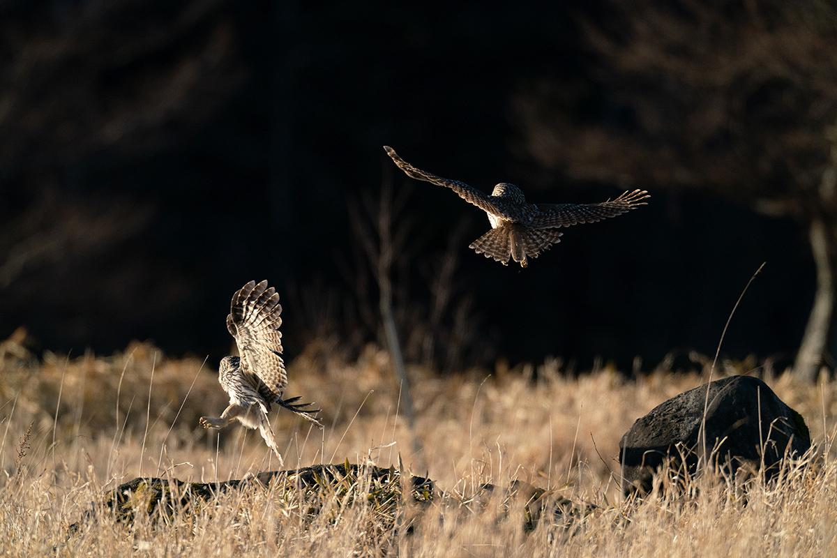 フクロウ I:二羽の接近遭遇_d0360547_17390673.jpg
