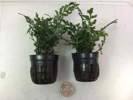 201224 熱帯魚 金魚 めだか 水草 観葉植物_f0189122_13014160.jpeg