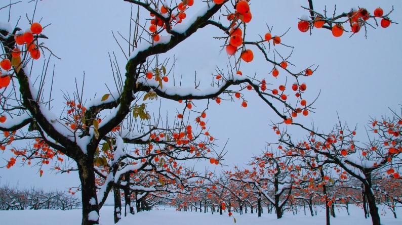 雪柿 (1) 020/12/24_d0060435_17105747.jpg