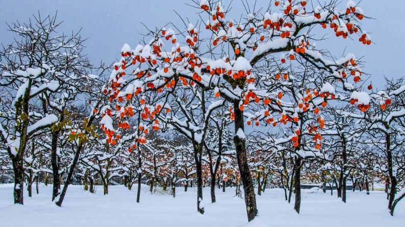 雪柿 (1) 020/12/24_d0060435_17115953.jpg