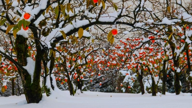 雪柿 (1) 020/12/24_d0060435_17125043.jpg