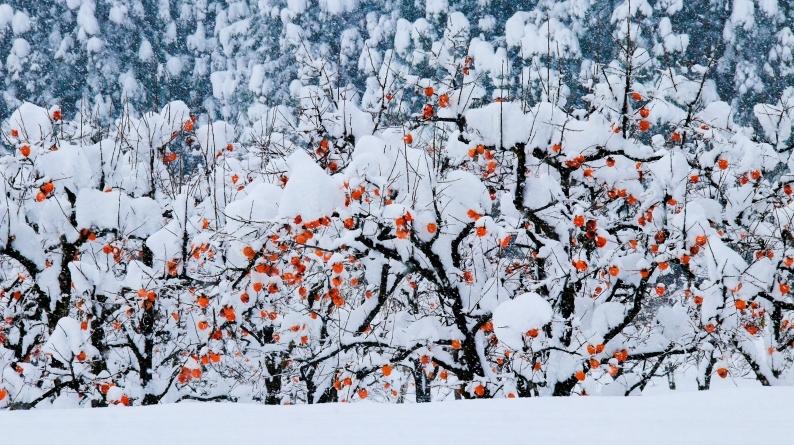雪柿 (1) 020/12/24_d0060435_17133880.jpg