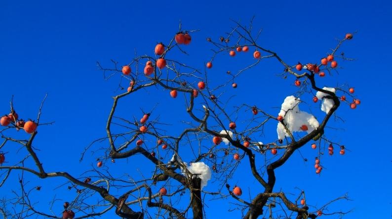 雪柿 (1) 020/12/24_d0060435_17141513.jpg