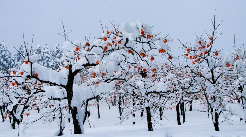 雪柿 (1) 020/12/24_d0060435_17150281.jpg