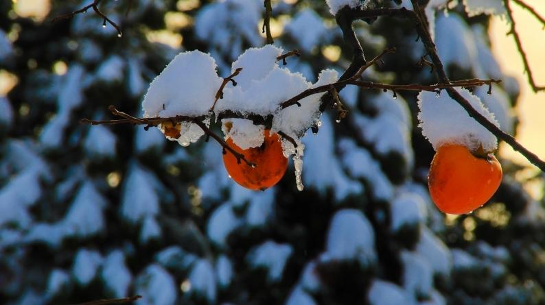 雪柿 (1) 020/12/24_d0060435_17154195.jpg