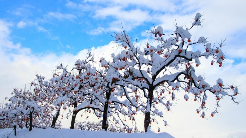 雪柿 (1) 020/12/24_d0060435_17162001.jpg