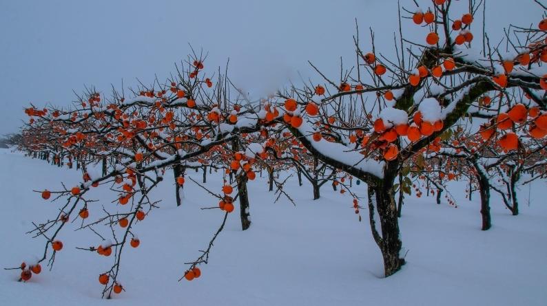 雪柿 (1) 020/12/24_d0060435_17175418.jpg