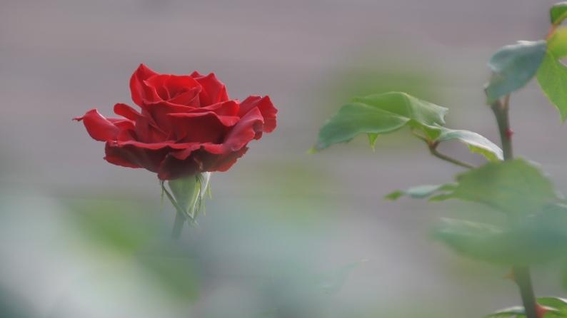 薔薇写 651_d0060435_17543452.jpg