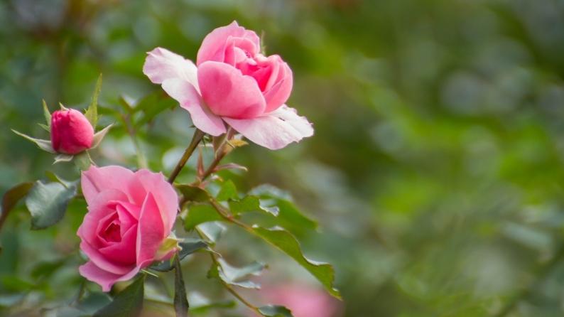 薔薇写 651_d0060435_18000450.jpg