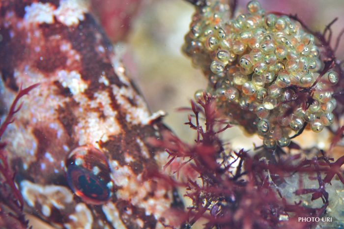 クジメの卵_e0158261_07442489.jpg