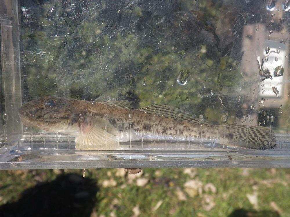 冬の魚たち・・・水生生物調査の結果(12月)_e0046474_18542325.jpg