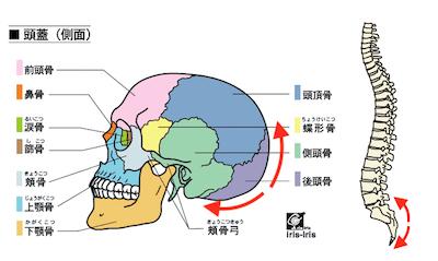 お腹の調子が気になるときには、頭の後ろを整えましょう 〜ある日の施術より〜_e0073240_05504622.jpg