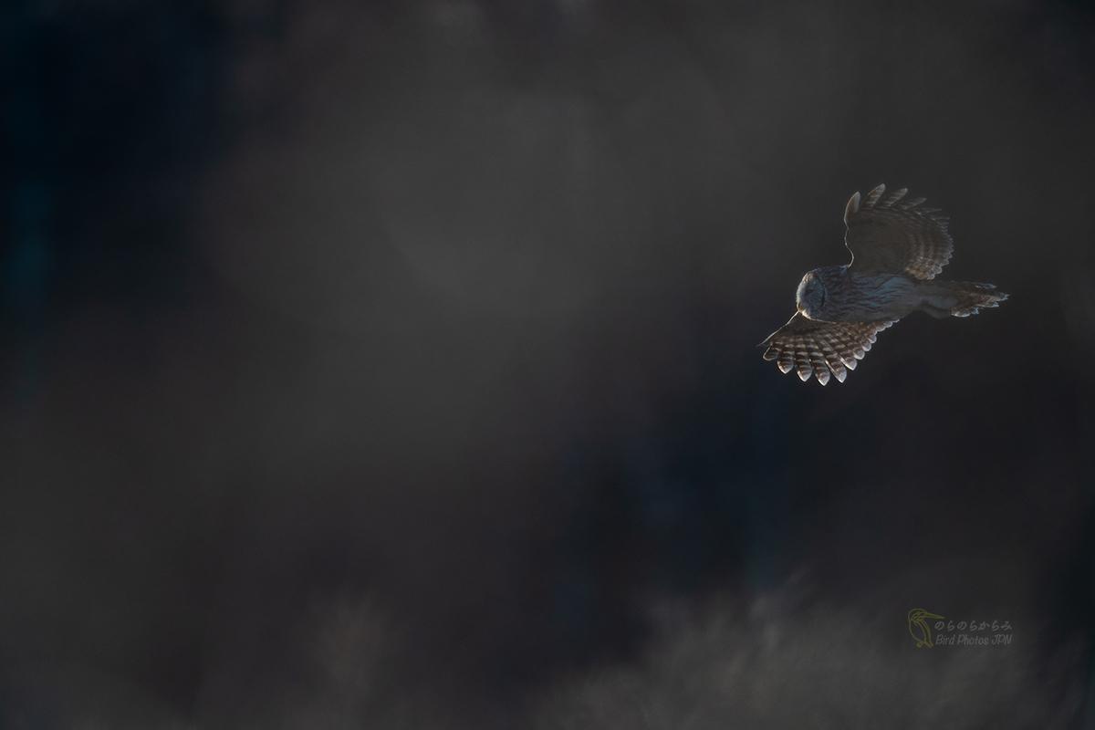 フクロウ II:飛翔, 光の中へ_d0360547_07591424.jpg