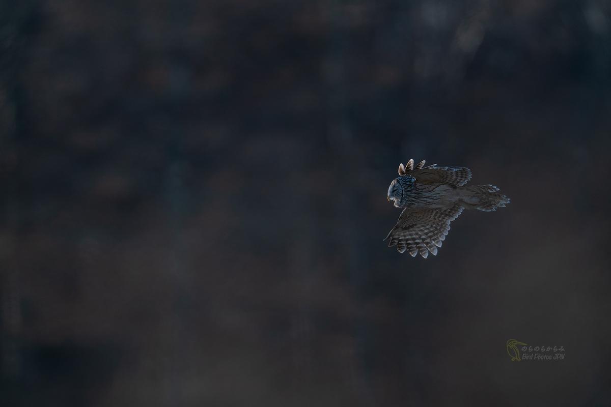 フクロウ II:飛翔, 光の中へ_d0360547_07591439.jpg