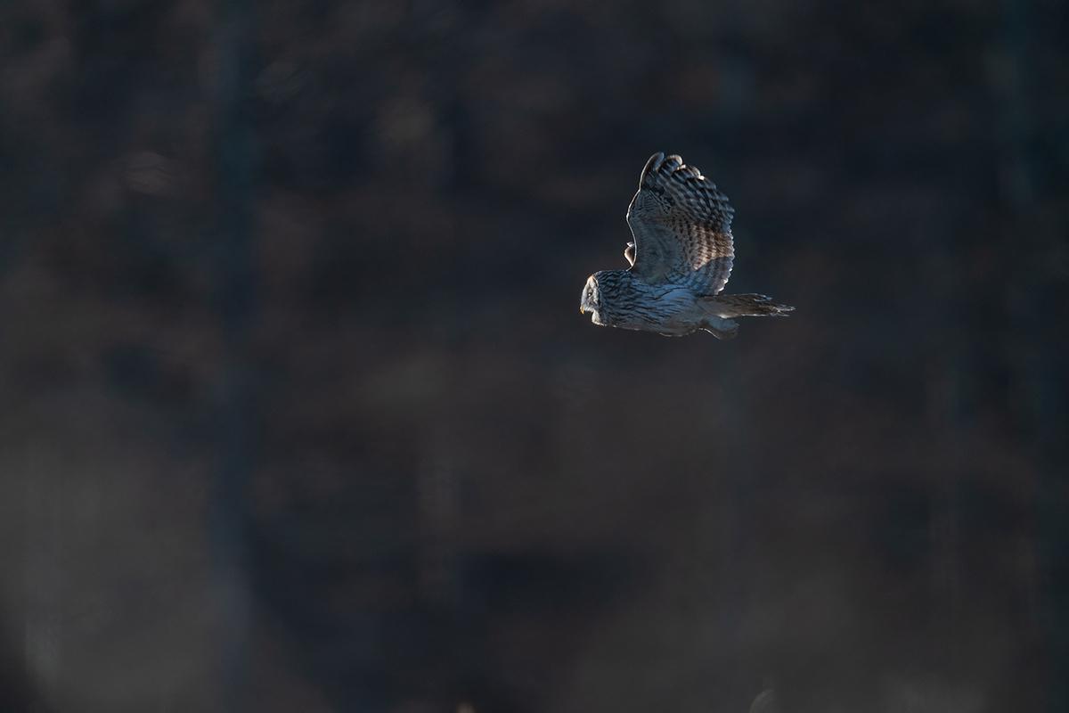 フクロウ II:飛翔, 光の中へ_d0360547_07591546.jpg