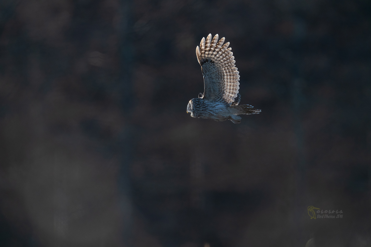 フクロウ II:飛翔, 光の中へ_d0360547_07591586.jpg