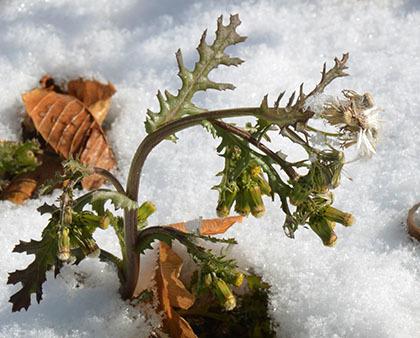 厳寒の環境で開花・結実する外来種ノボロギク_e0005362_04495760.jpg