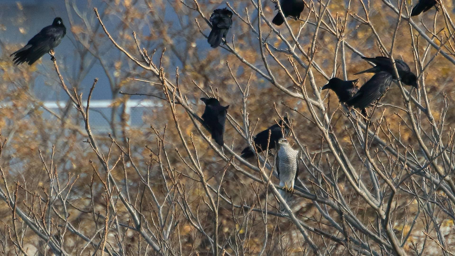 オオタカ成鳥がハシブトガラスに囲まれていた_f0105570_17555418.jpg