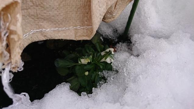 雪の下で頑張っています!_c0320302_16135082.jpg