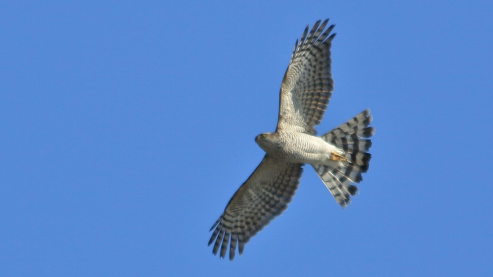 今日はハイタカが自宅前で飛びました!_f0105570_18025288.jpg