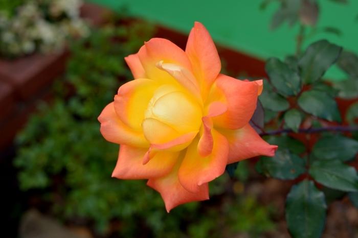12月中旬になってもバラが咲いている_c0330563_12071226.jpg