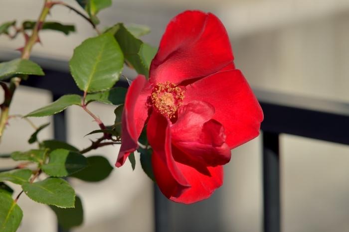 12月中旬になってもバラが咲いている_c0330563_12123967.jpg