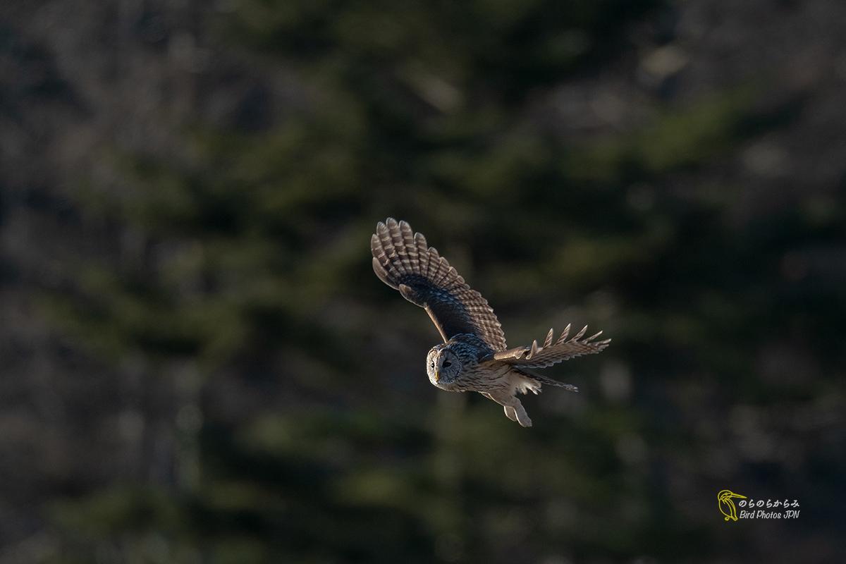 フクロウ III:飛翔と枝どまりと_d0360547_07162726.jpg