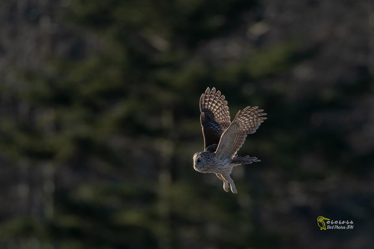 フクロウ III:飛翔と枝どまりと_d0360547_07162734.jpg