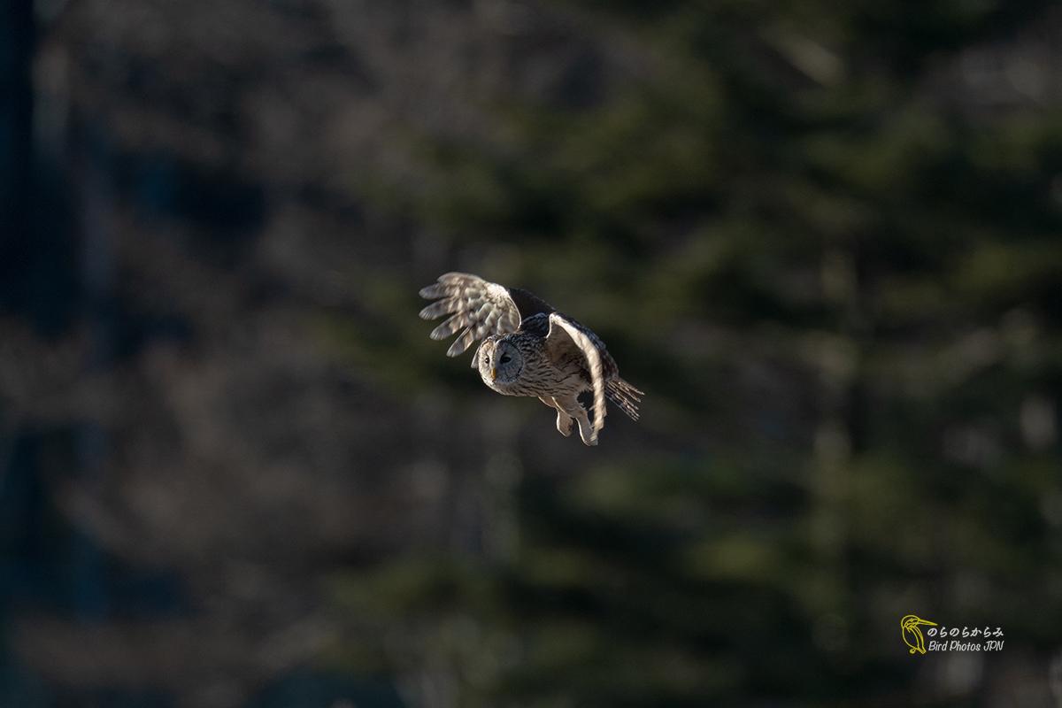 フクロウ III:飛翔と枝どまりと_d0360547_07162777.jpg