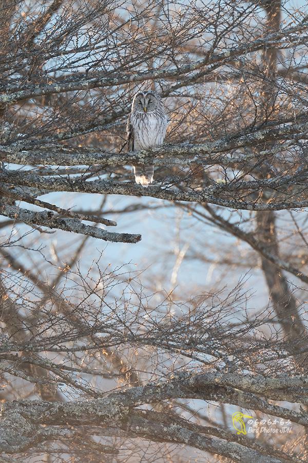 フクロウ III:飛翔と枝どまりと_d0360547_07162856.jpg