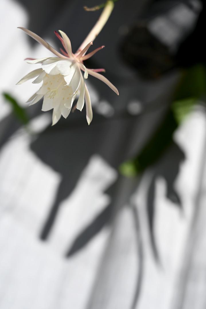 姫月下美人 - Epiphyllum pumilum_e0243332_14550291.jpg
