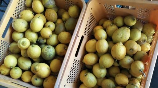 レモンの収穫は終了~♪_b0022588_20091131.jpg