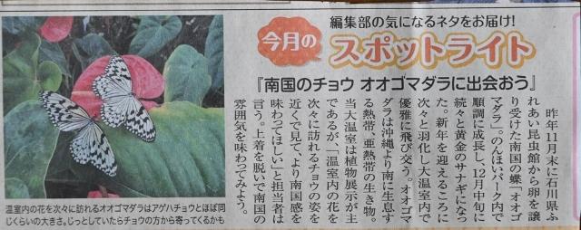 オオゴマダラ 再び登場_f0179175_14354387.jpg