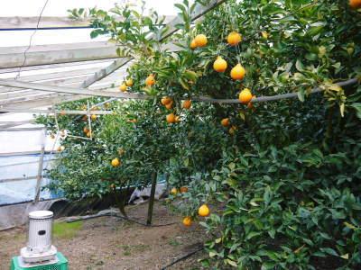 令和3年の樹上完熟デコポン(肥後ポン)『ひのゆたか』本日初出荷!収穫の様子とその美味さ!!(前編)_a0254656_16571296.jpg