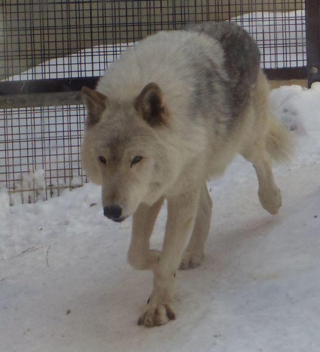 1月11日の円山動物園のホッキョクグマとオオカミ_b0014576_11263282.jpg