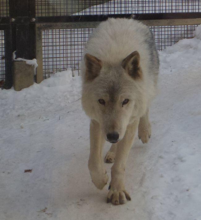 1月11日の円山動物園のホッキョクグマとオオカミ_b0014576_11263998.jpg