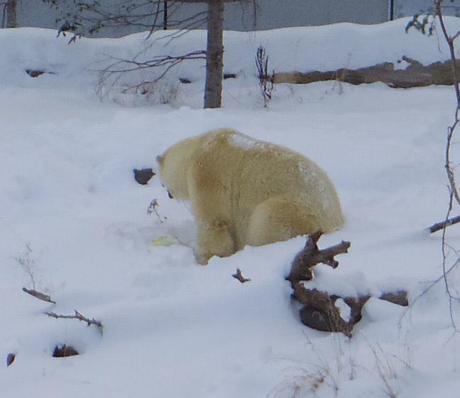 1月11日の円山動物園のホッキョクグマとオオカミ_b0014576_11270394.jpg
