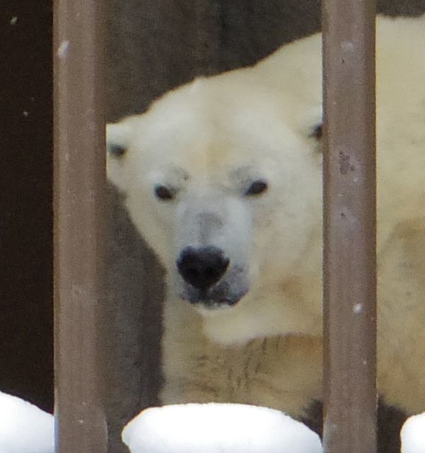 1月11日の円山動物園のホッキョクグマとオオカミ_b0014576_11271017.jpg