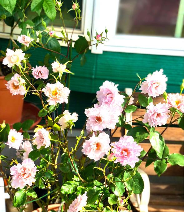 バラの用土替え♡クチュールローズチリアと、バラの寒肥と用土替えも終わった〜♫ - 薪割りマコのバラの庭
