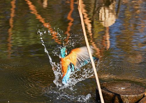 水元公園=クイナ、タシギ、シロハラ、アオジなど_d0346977_17255750.jpg