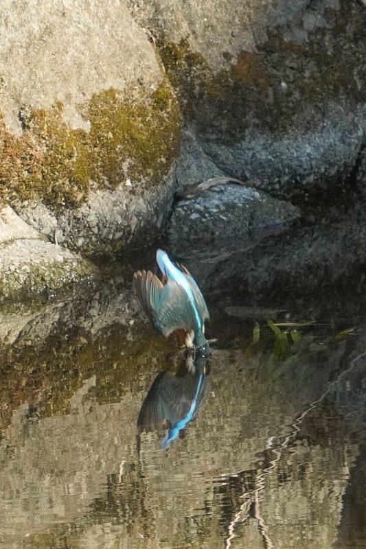 カワセミ、ダイビング連写画像_e0293921_17430180.jpg