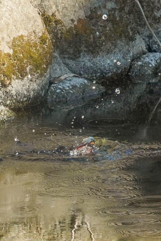 カワセミ、ダイビング連写画像_e0293921_17430923.jpg