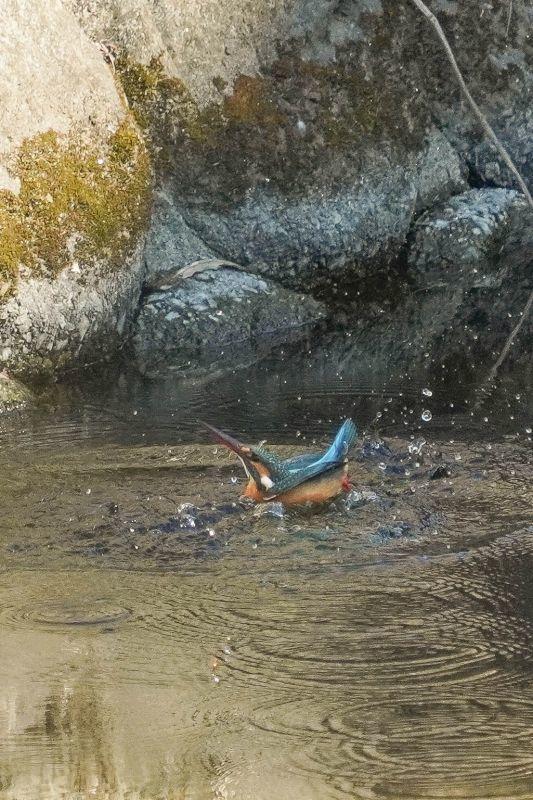 カワセミ、ダイビング連写画像_e0293921_17431656.jpg