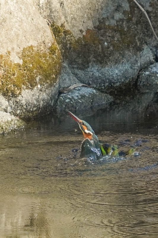 カワセミ、ダイビング連写画像_e0293921_17432049.jpg