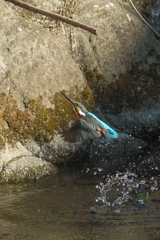 カワセミ、ダイビング連写画像_e0293921_17432583.jpg
