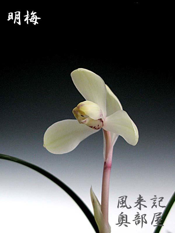 中国春蘭「明梅」          No.2074_d0103457_23545089.jpg