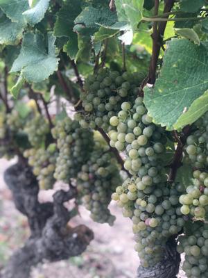 Bordeaux France september 2019 ⑩ ch.Suduiraut_a0036499_22532634.jpg